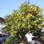 垂井の家の柚子