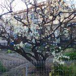 梅は咲いたか桜はまだか