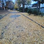 夕方の銀杏の落葉